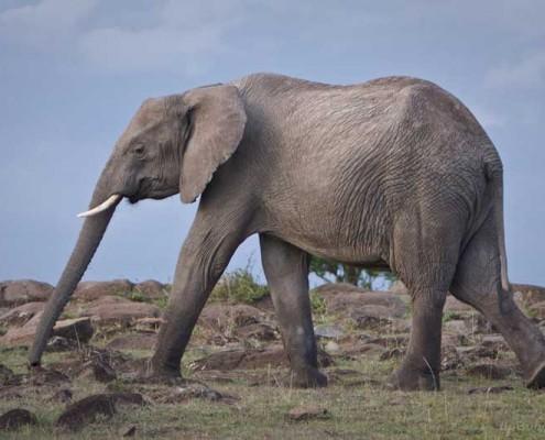 Elefant-Kenia