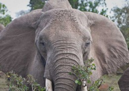 Elefant-Safari