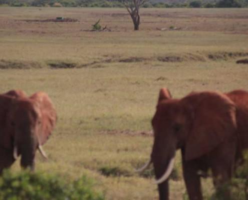 Elefanten-Kenia