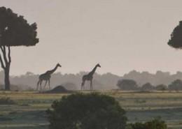 Giraffen-Kenia