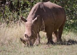 Kenia-Nashorn