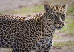 Kenia-Wildkatzen