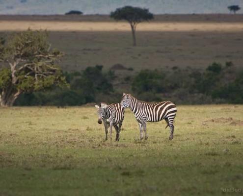 Kenia-Zebras