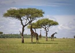 Safari-Giraffen
