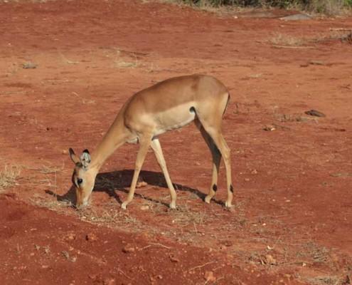 Tiere-Kenia