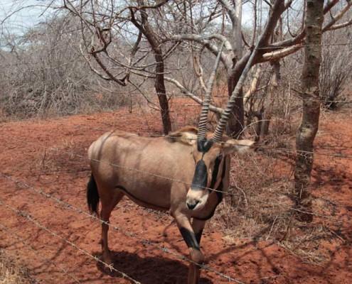 Wildtier-Tour-Kenia