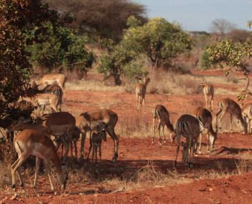 Wildtiere-Safari-Kenia