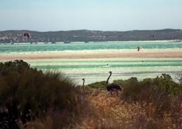 Entdeckt beim Kitesurfen Strauße in freier Wildbahn