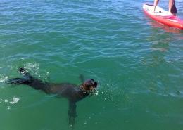 Bei einer Tour mit dem SUP kommen auch Seeloewen neugierig zu euch.