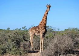 Im Wildpark Buffelfontein in Suedafrika bei Langebaan könnt ihr Giraffen entdecken.
