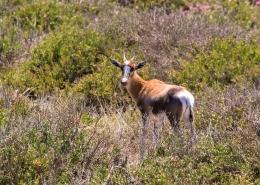 Entdeckt ein Blessbock im West Coast Nationalpark