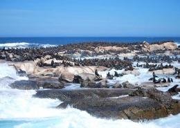Seeloewen sonnen sich in Suedafrika bei Langebaan