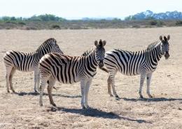 Im Wildpark Buffelfontein in Suedafrika bei Langebaan könnt ihr Zebras entdecken.